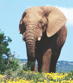Elephant in Addo National Elephant Park. See more by booking Addo accommodation and Addo safaris at Woodall Country House
