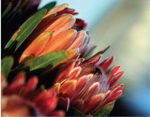 Addo accommodation. Protea flower found in Addo.