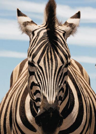 Wild Zebra in Addo. Addo National Elephant Park safaris.