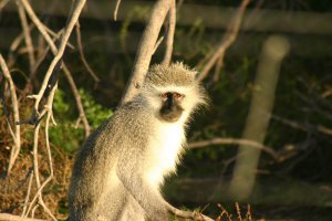 Monkey spotted at Addo National Elephant Park. Addo safari and accommodation