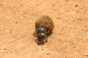 Dung beetle spotted at Addo National Elephant park