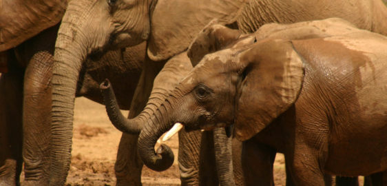 A new frontier for Elephant conservation