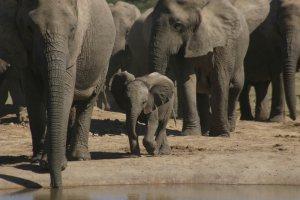 ADDO ELEPHANT BACK SAFARIS (1 hr from Woodall) Image