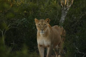 Addo National Elephant Park wildlife. Addo safaris