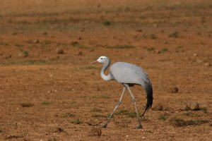 Blue Crane spotted in Addo National Elephant Park. Addo safaris