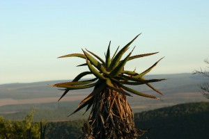 Trees found in Addo Elephant Park. Addo accommodation and safari