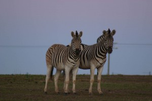 Zebras in Addo Elephant Park. Addo accommodation and safaris. Addo accommodation and safari packages