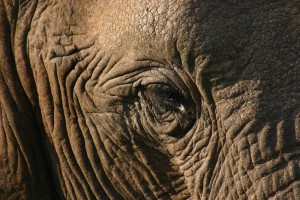Elephant eye. Addo National Elephant Park safari