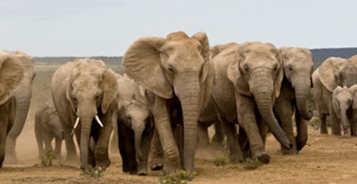 Discover the African Bush Elephant