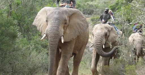 The New Alternative to Elephant Culling