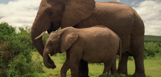 Why Elephants Never Forget