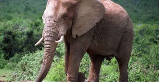 Global Warming and Elephant Conservation
