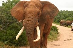 african elephant in addo. Addo safari. Addo safari game drives available at Woodall. Woodall Addo safari rates.