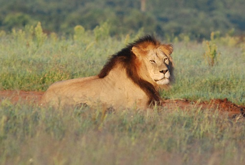 Lion at Pumba Game Reserve
