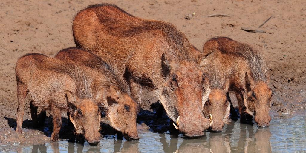warthogs at pumba game reserve